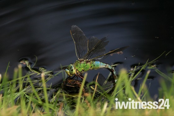Dragonfly and Darter