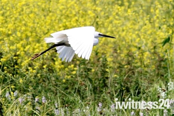 "Low Flying "" Little Egret ""."