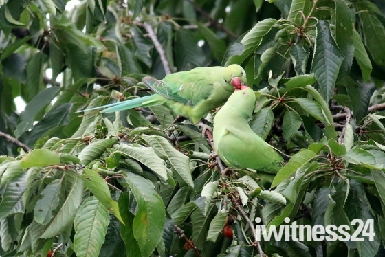 Green Ringed Neck Parakeets