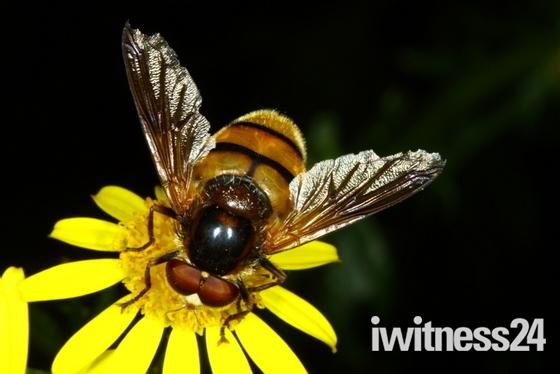 Summertime Hoverflies 3