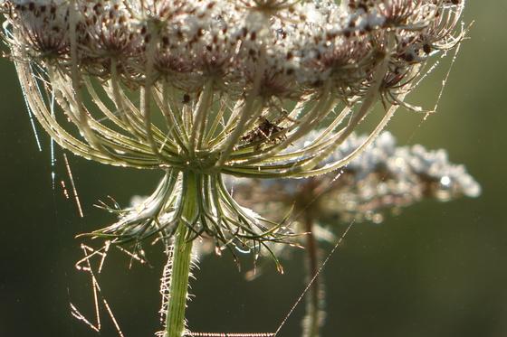 Mist and cobwebs create tiara bloom