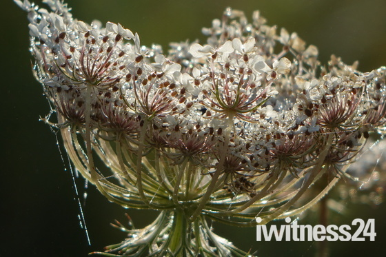 Mist and cobwebs create tiara bloom