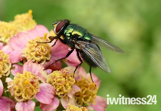 Emerald green fly on the flowers.