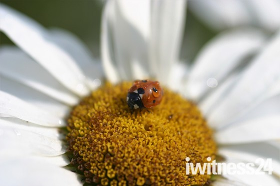 Ladybird on an Ox Eye Daisy