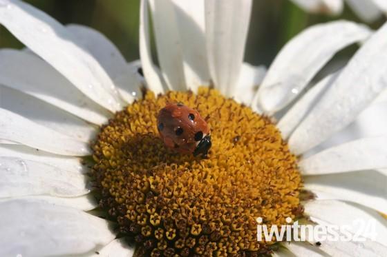 Ladybird on an Ox Eye Daisy
