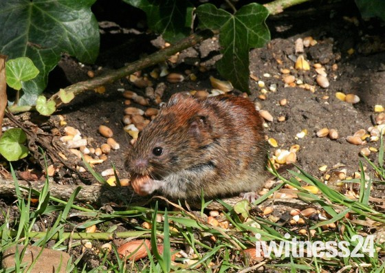 Victor the vole goes nuts!