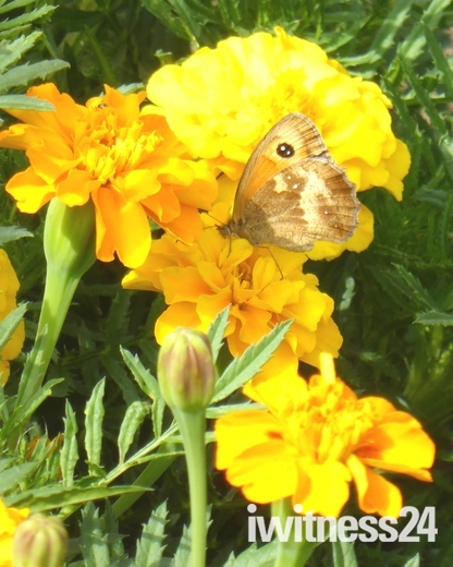 Butterfly on Merigold Flowers
