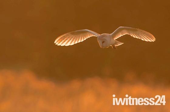 Barn Owl at Sunset