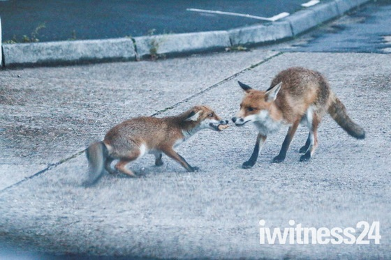 Local neighbourhood foxes