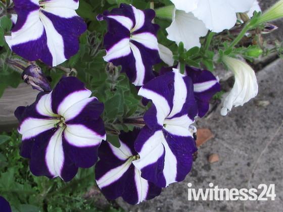|Summer Flowers