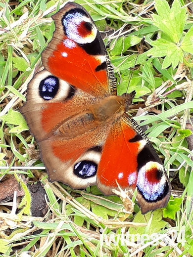 Blofield butterfly
