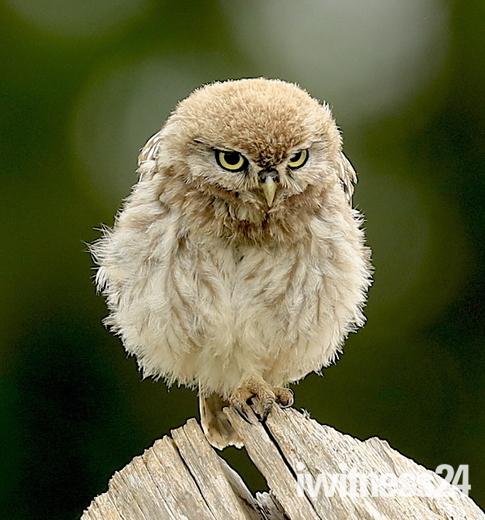 Little Owls in Bungay.