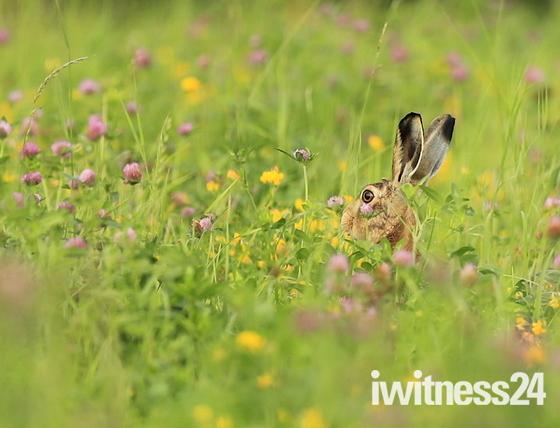 Hare in the clover. Fen Farm.