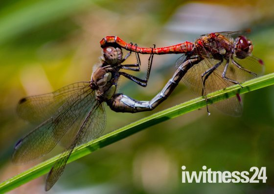 Mating Darters