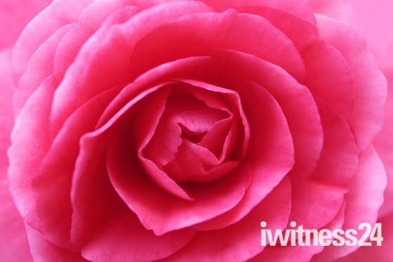 The detail of a rose
