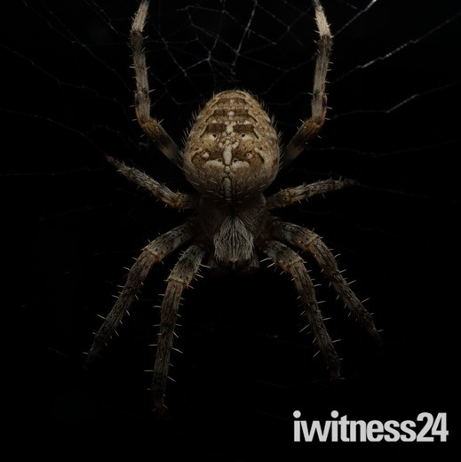 Cross Spider at night.