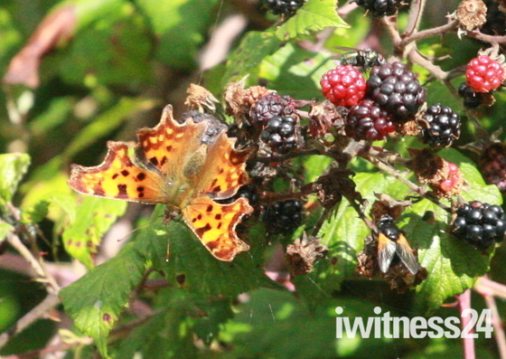 Comma butterfly on my blackberries