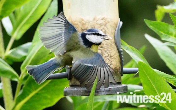 Blue Tit takes off.