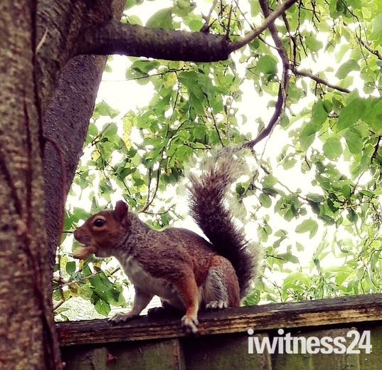 Squirrel in Weston village