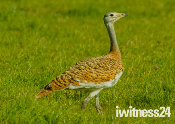 The Great Bustard of Chewton Mendip