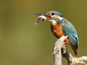 Kingfisher at Lackford.