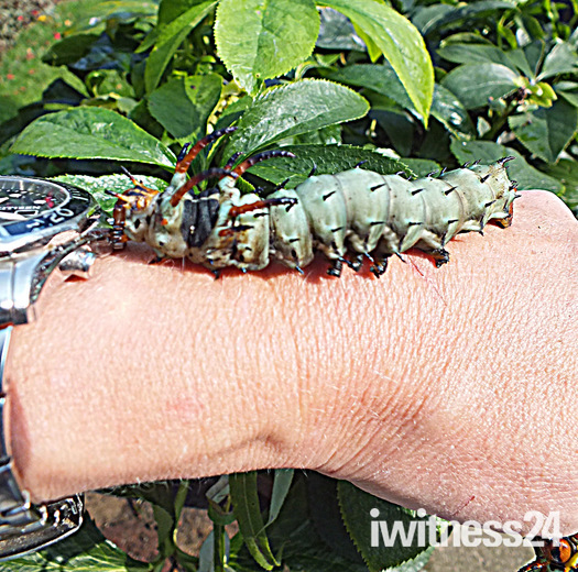 Largest Caterpillar in the world