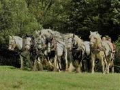 Heavy horses at work