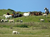 Northam Burrows - Sheep and Horses