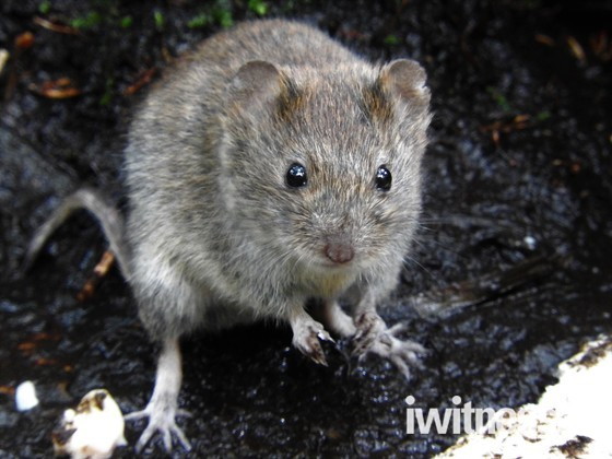 Bank Vole or mouse?