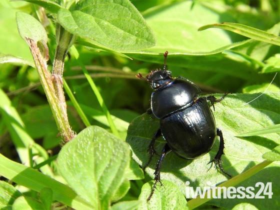 Violet Dor Beetle