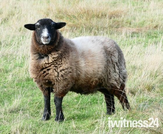 Herdwick sheep in the fields.