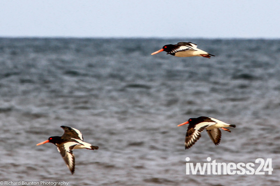 Oystercatchers stretching their wings