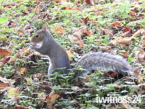 Grey Squirrel at Sculthorpe moor