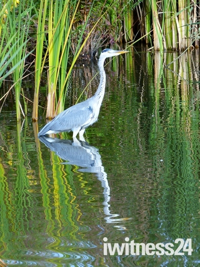 Heron Patiently Waiting