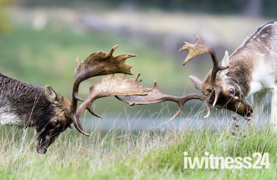 Fighting Stags at Holkham