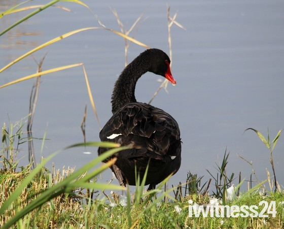 Black Lonely Swan