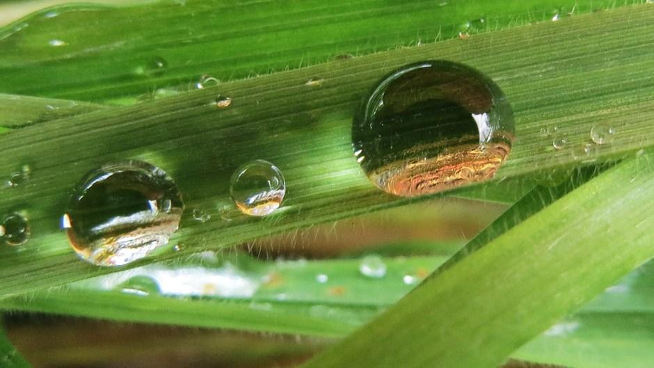 Regendruppels op grasspriet
