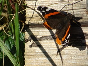 A zoomed in picture of red admiral butterfly.