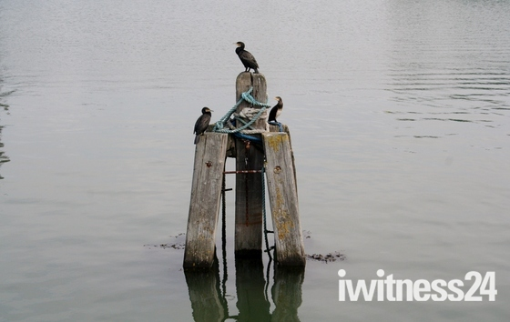 Cormorants on Lake Lothing