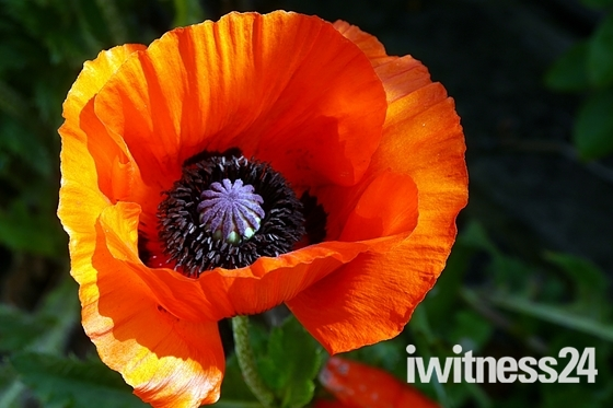 Giant Poppy