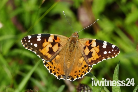 (Patterns comp)Painted Lady Butterfly