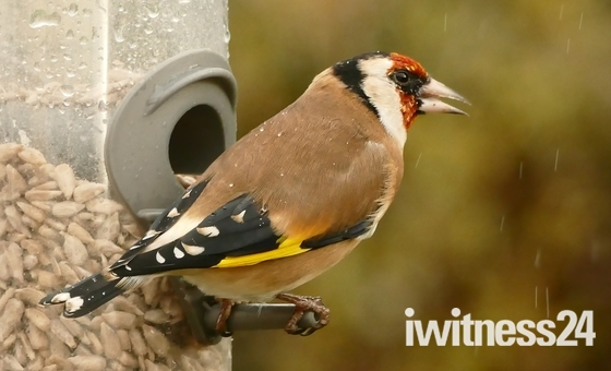Goldfinches brighten a damp,dull day.