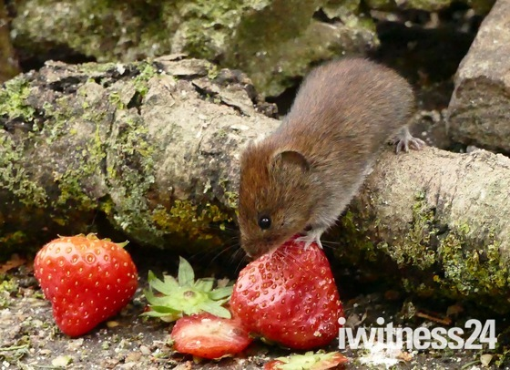 Strawberry snack for a vole.