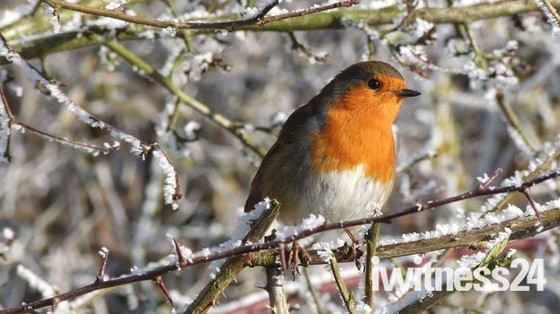 Frosty Robin at Layham