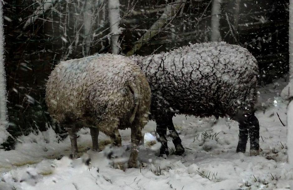 sneeuwkoek op de schapevacht