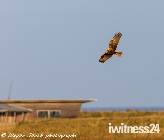 March Harrier over Titchwell rspb