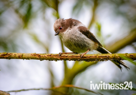 New. Longtailed tit fledgling