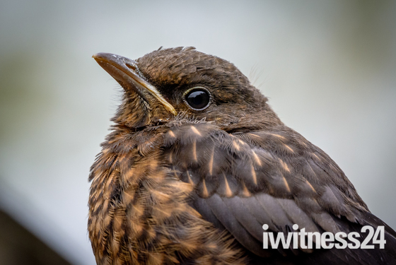 New Blackbird Fledgling