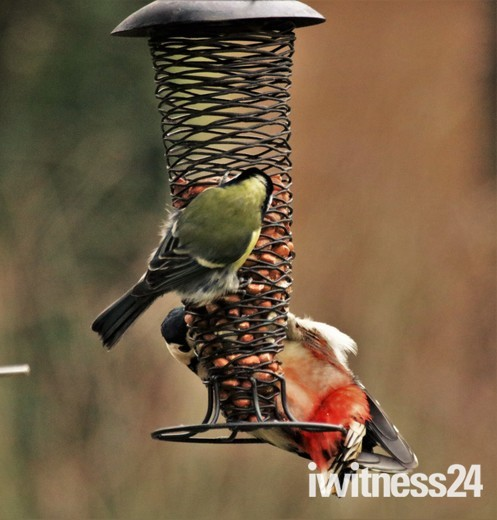 Woodpecker and Greattit onthe feeder