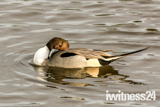 Lovely Pintail Duck
